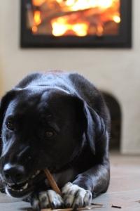 elly unser Labrador